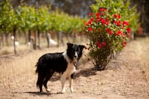 Tour the vineyard with a friendly guide dog.