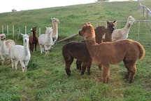 Puriri Alpaca Farmstay - Self contained studio