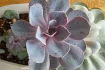 succulent shines like a pearl