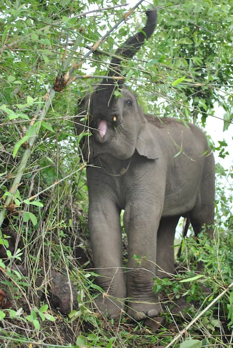 Guests can join us on hikes to visit our semi-wild roaming elephants