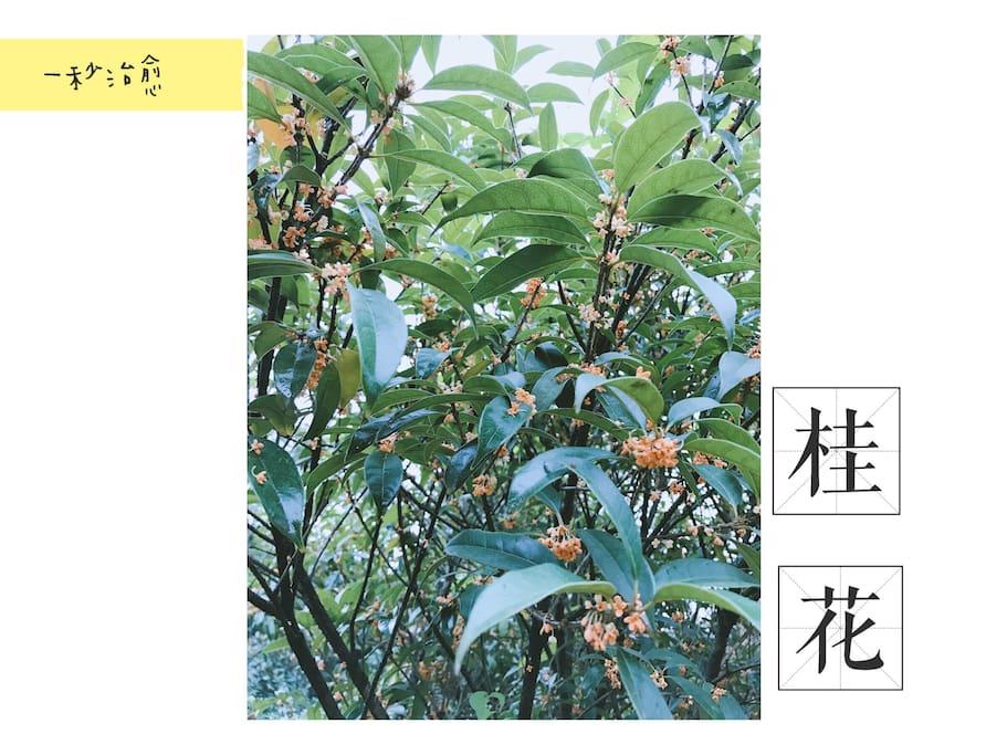 金秋时节~桂花飘香~五株桂花同时开花,空气中弥漫着淡淡的香味,享受大自然的气息!