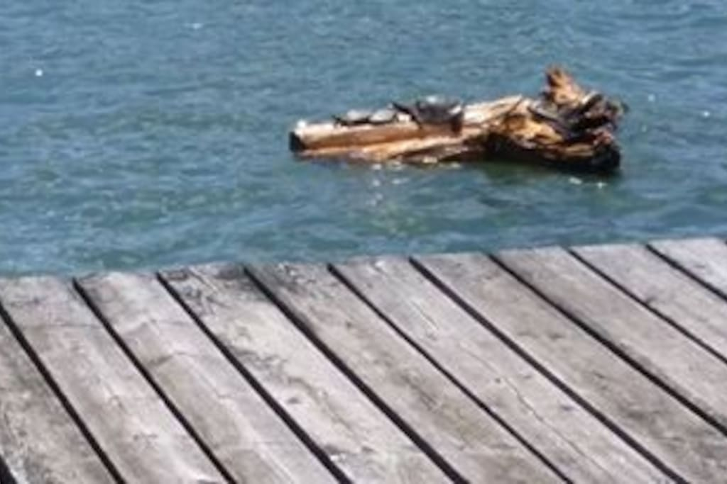 Turtles basking on their dock behind our home.