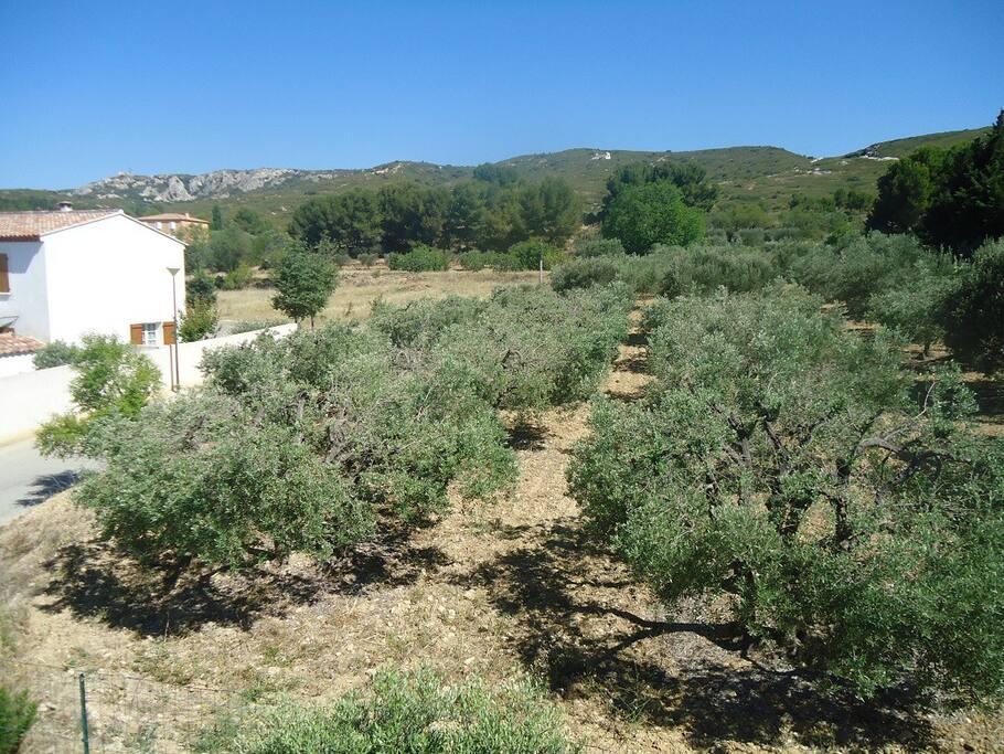 La colline et les oliviers