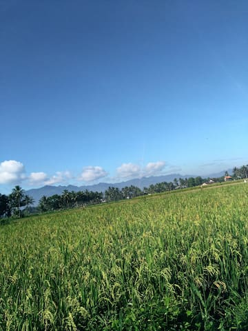 Enjoy the view of rice field near our place
