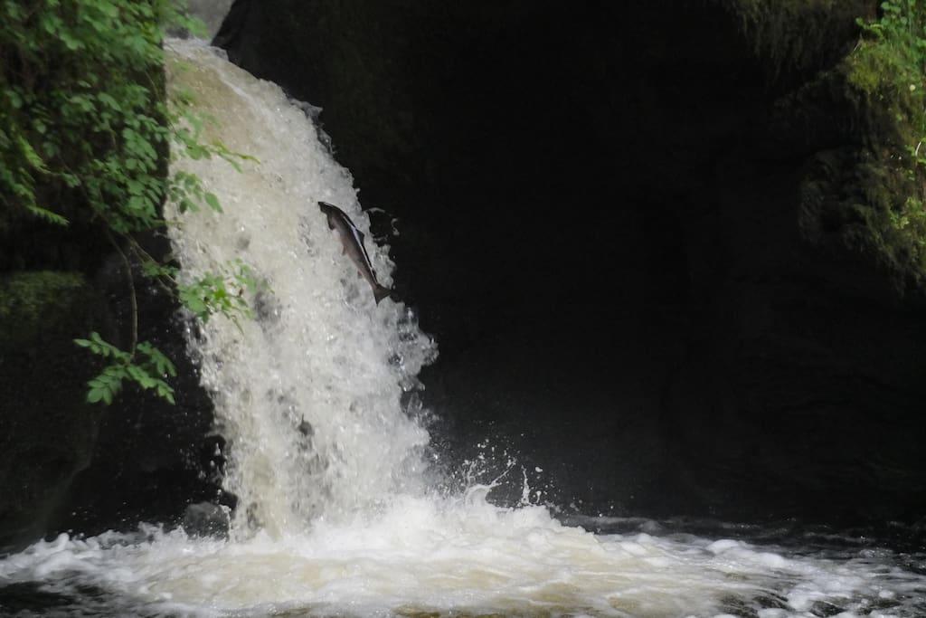 Leaping salmon a stone's throw away