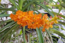 Another of our orchids