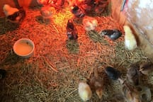 We also raise chickens for eggs and meat.
