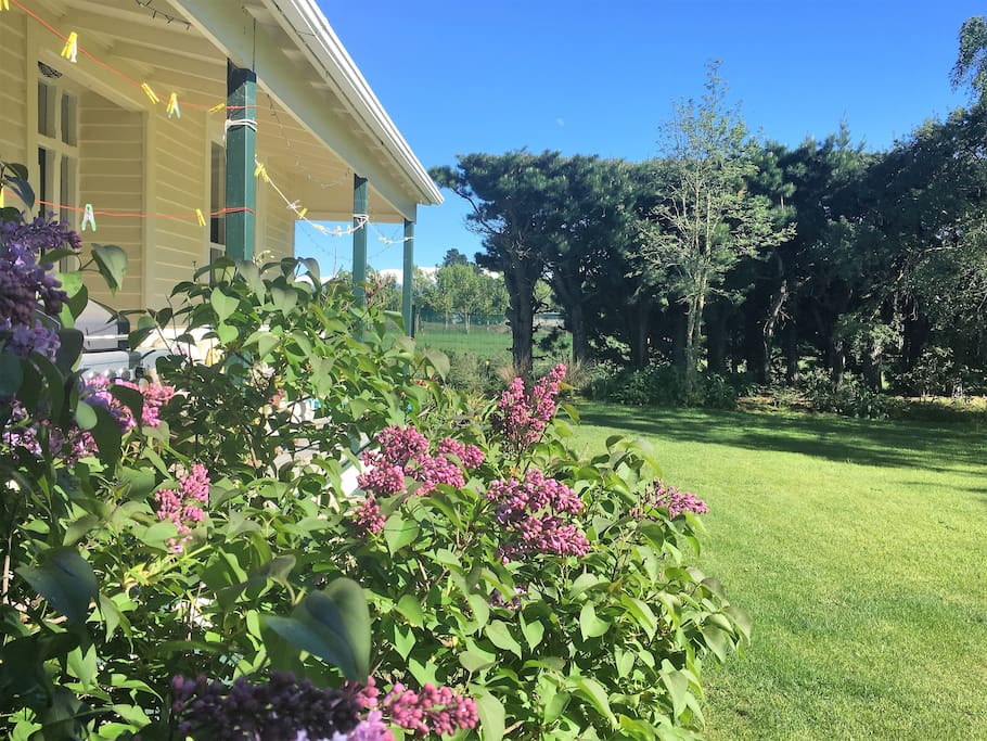 Lilac coming into the New Zealand sunshine