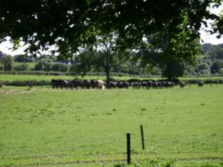 View of Cows on Farm