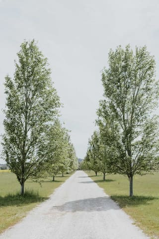 Beautiful poplar trees line the private driveway to The Farmhouse