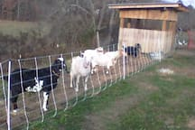 Dairy goats--fresh milk and cheese