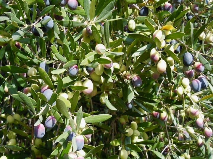Sabine olives ready for harvest
