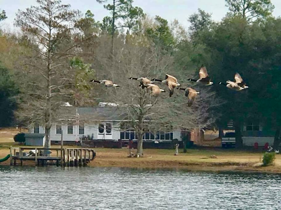 Flock of geese flying over the lake