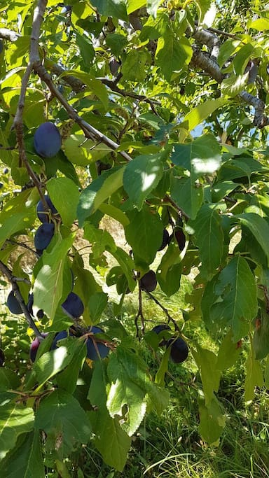 our very own plums, to share with you!