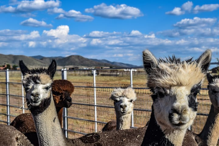 Plum Creek Alpaca's - east