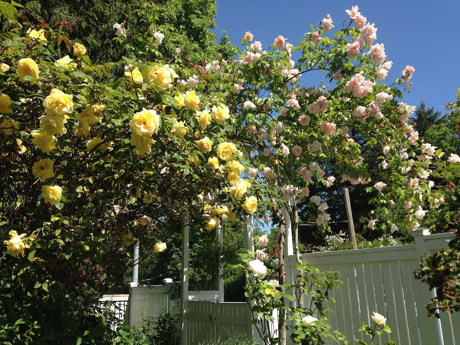 Good year for roses! Front gate