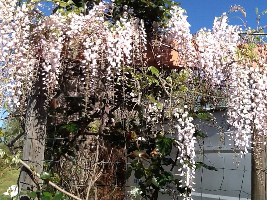 magical wisteria walkway