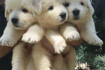 Cuccioli di maremmano, razza tipica abruzzese