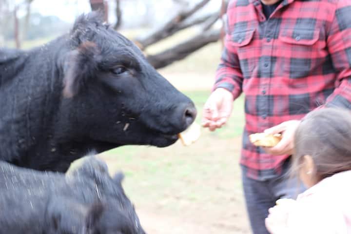 Feeding the cattle