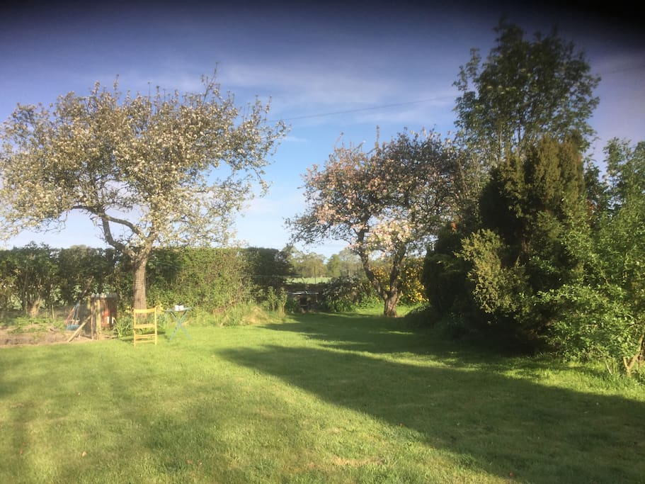 Apple trees in the garden.