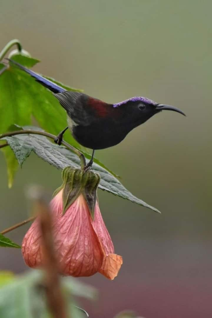 Black throated sunbird- Birds of Mirik