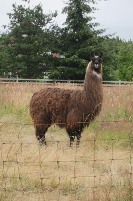 Mocha, is our llama who may be peering into your cottage windows from time to time. She's curious!