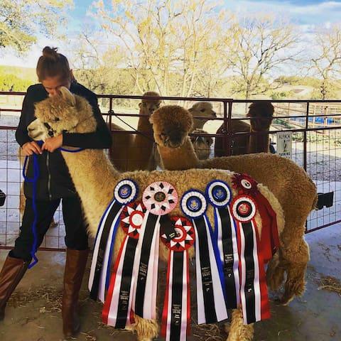 Jr. Alpaca Performance Champion
