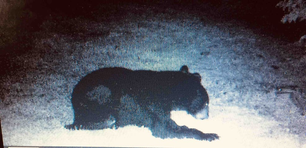 Back yard bear  captured and shown on infrared gam camera.