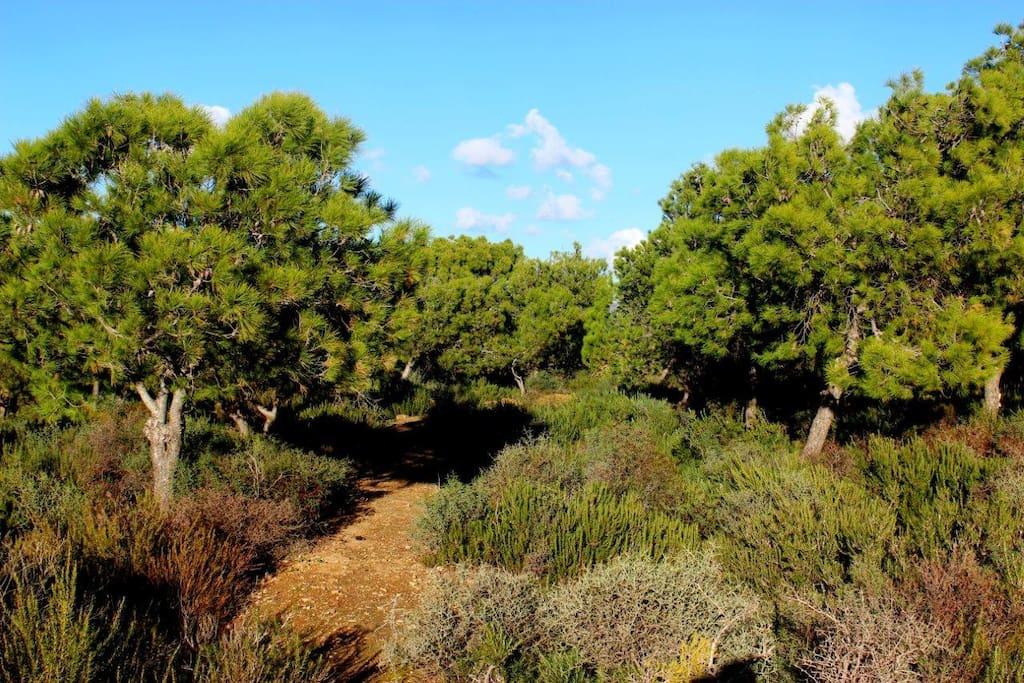 Une Forêts de pins et de Eucalyptus, odeurs thym et romarin