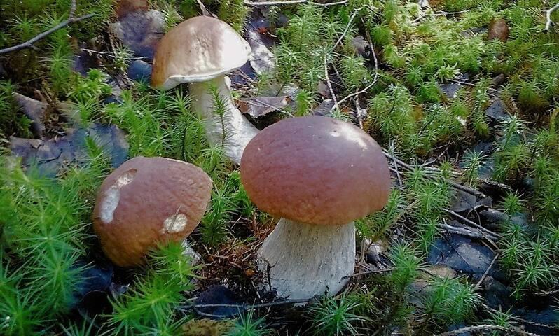 Белые грибы в турбазе