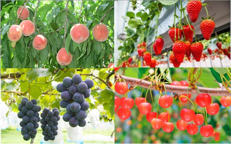 There are many tourist farms and orchards where you can pick fruits such as picking strawberries, picking grapes, picking pears, picking apples, etc. around Tokyo