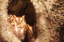 Eastern screech owls - you never know what neighbors you might find on your hike!