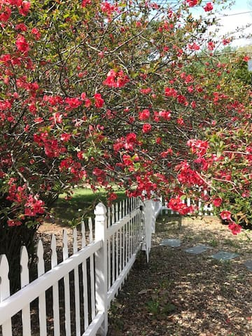 Quince Bush in Bloom