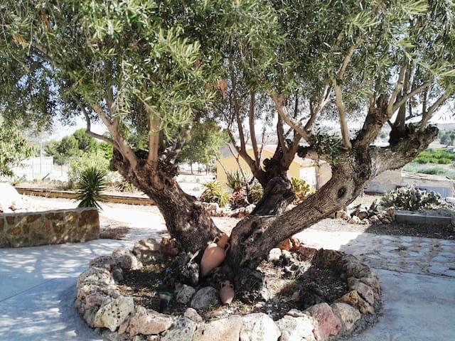 Garden, centenary olive tree
