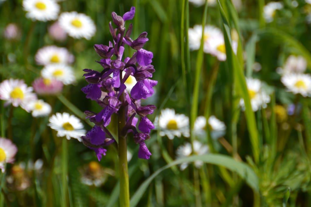 orchidee selvatiche intorno casa