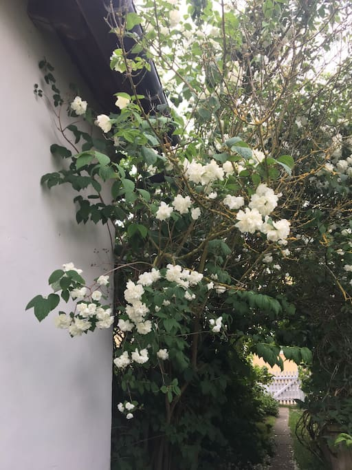 Jasmin in bloom on the northwest side of the building