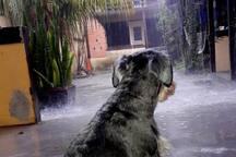 Nosso cachorro admirando a chuva do ponto de vista da cozinha do quintal. O quarto se encontra na outra extremidade.  O cachorro é dócio e não fica preso.  Ele gosta de atenção e de brincar.