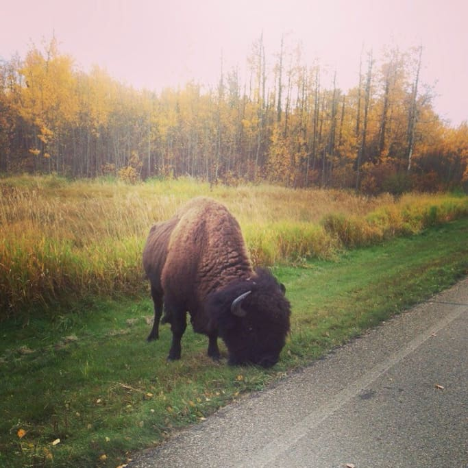 Our home is where the buffalo roam! We live about five min or less from Elk Islands main gate. Our place is a great way to escape from the city and we are only 15 min from Sherwood Park. Life is way better out here!