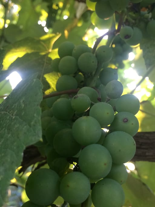 Grapes cultivated at home