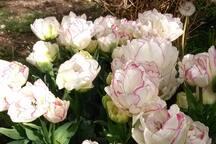 初春时的郁金香