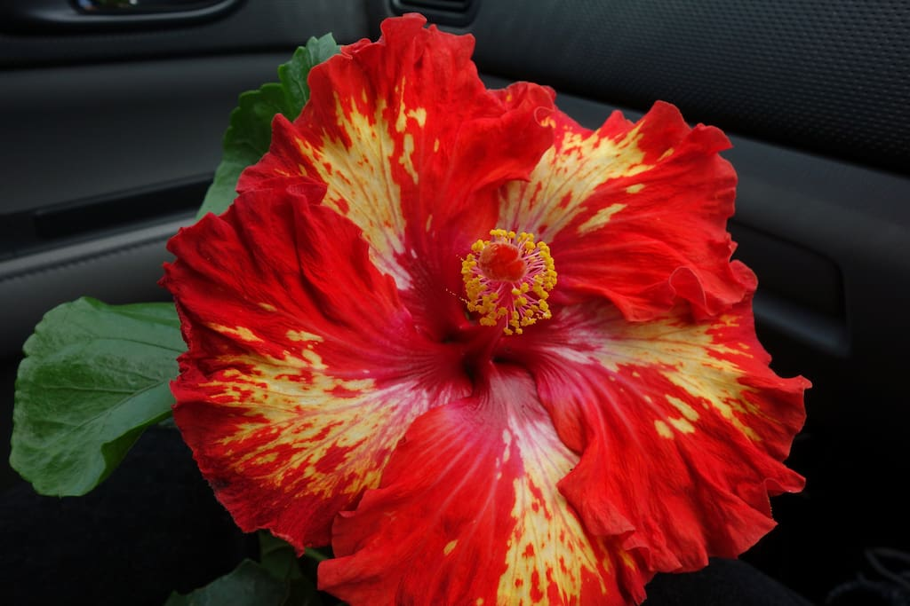 One of the many beautiful hibiscus