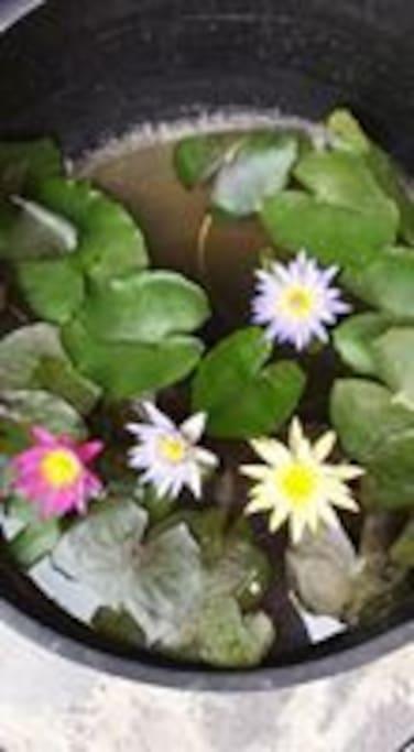 Lotus in the back garden