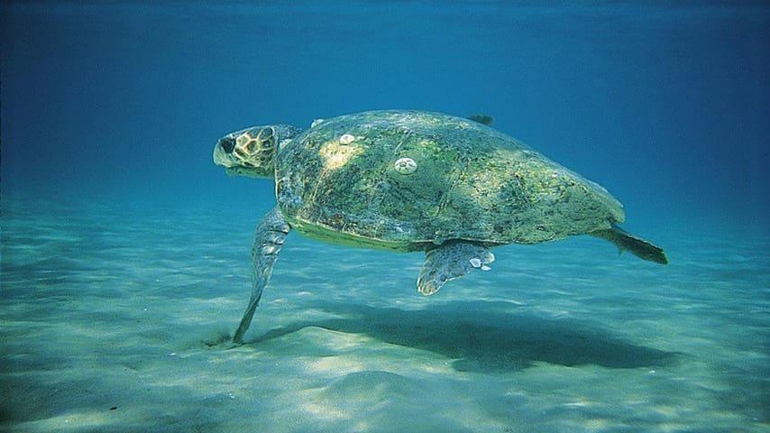 Kareta-Kareta turtle in Vounaki sea waters