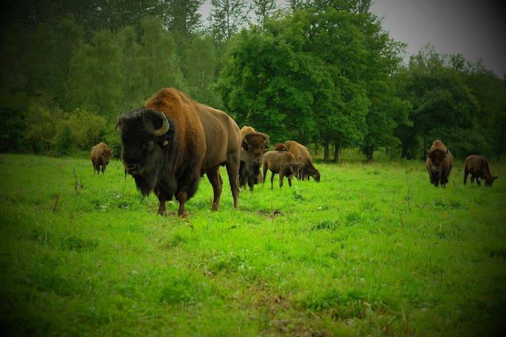 Bisons de l'Edenl