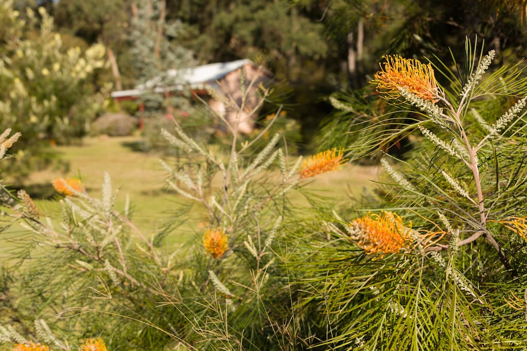 Murray through the grevilleas. Kangaroos love to feed on that grass.