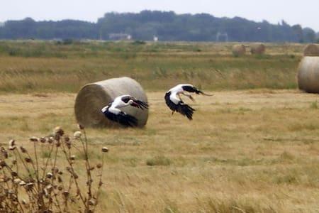 Charentaise dans un parc naturel - Breuil-Magné