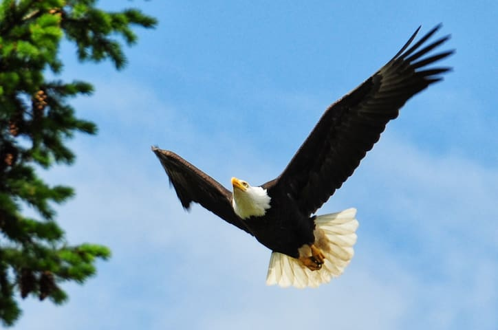 Bayside's resident eagle coming in to land on his perch!