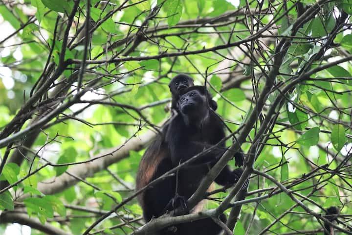 Four Monkeys  Eco Lodge Jungle & Beach - Howler