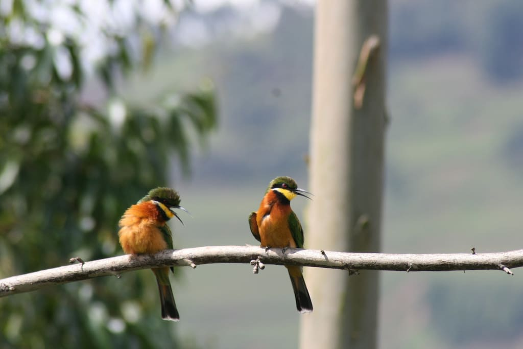 Cinnamon chested bee eaters
