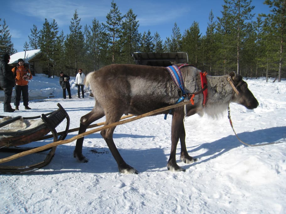 Reindeers are half wild and half farmed animals...always owned by someone.